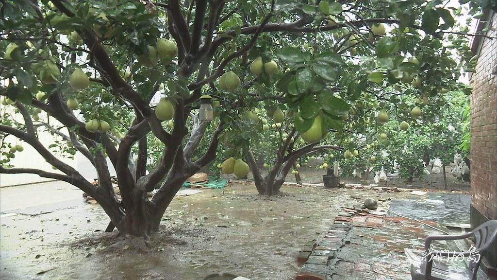 970-3-10s根據麻豆農會估算,大部分區域的積水很快退去,對於文旦損失不達一成,不會影響中秋時節的收成。