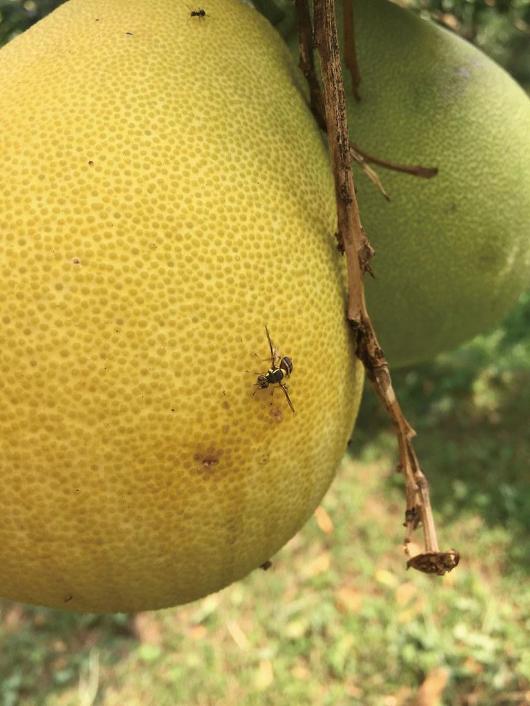 201809-178-綠主張月刊-p08梯田上的蜜香—溫昌海的金黃柚子-08