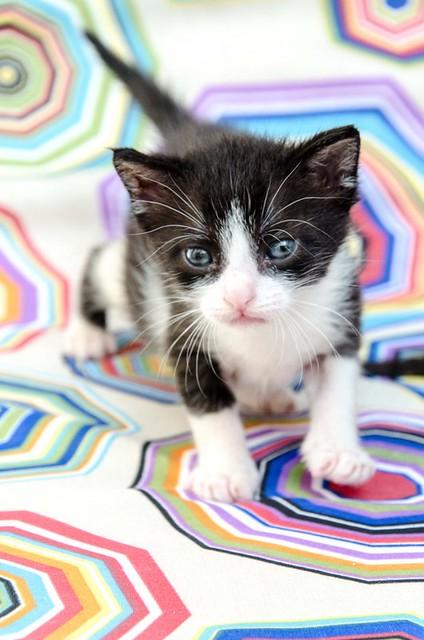 Martín, gatito blanquinegro guapísimo y súper listo nacido en Julio´18, en adopción. Valencia. ADOPTADO. 44219330601_36322b8166_z