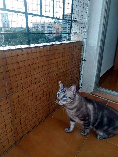 Tango, gato Siamés Tabby de colita corta esterilizado muy guapo, nacido en Enero´16, en adopción. Valencia. ADOPTADO. 29744896357_a63d7821cb_z