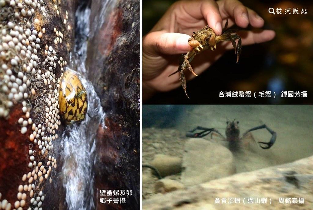 7_壁蜑螺、合浦絨螯蟹、貪食沼蝦