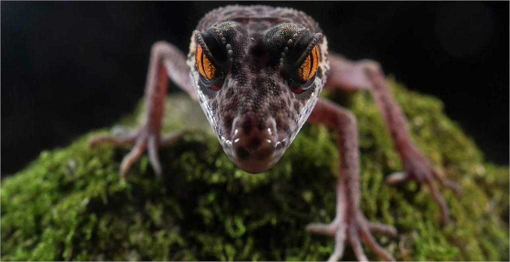 廣西生物多樣性豐富,喀斯特石山特有種、瀕危動物─憑祥瞼虎