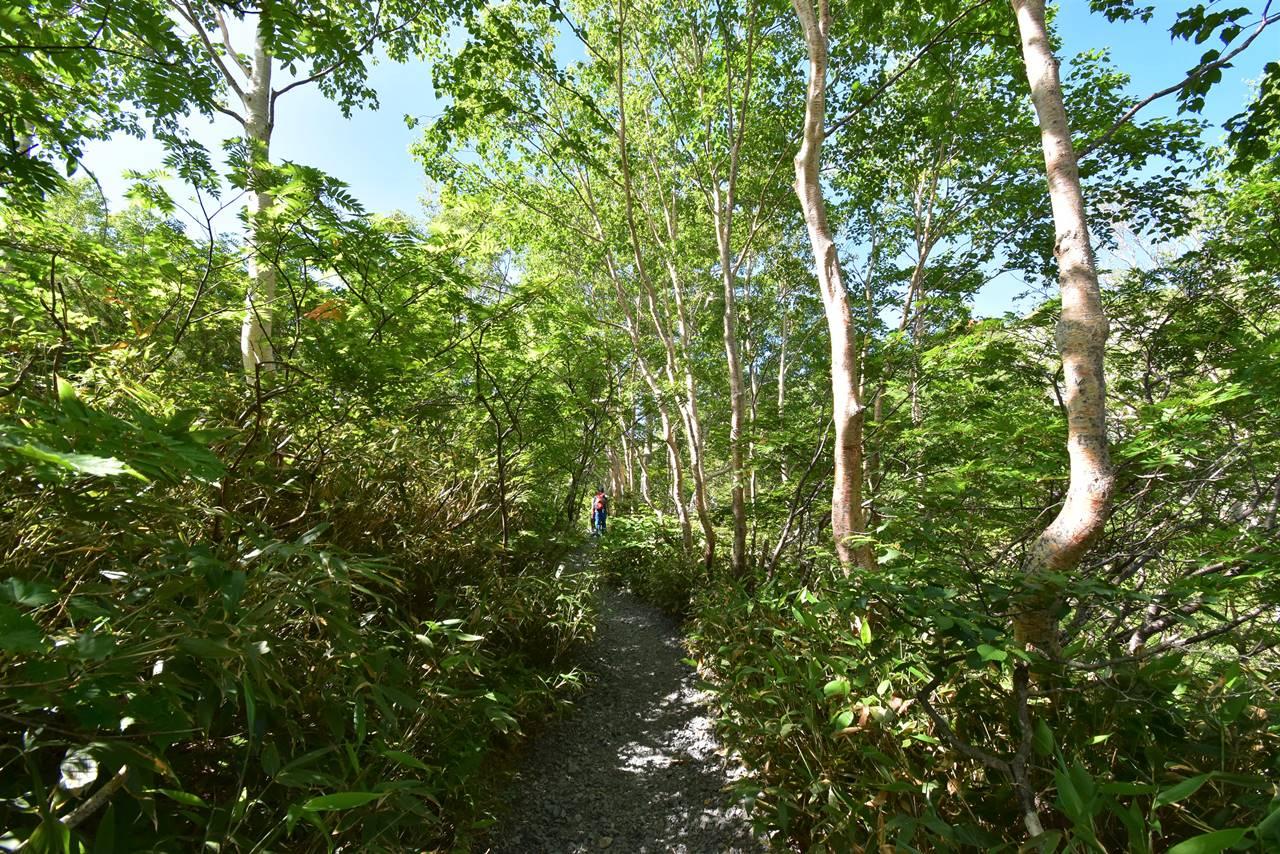 夏の八方尾根樹林帯