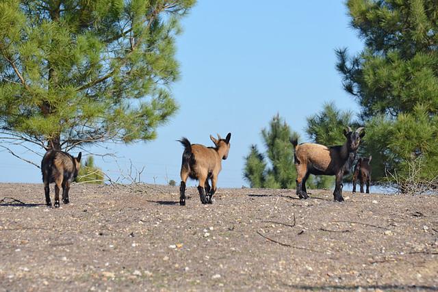 Dwarf goats, Palmela, Portugal