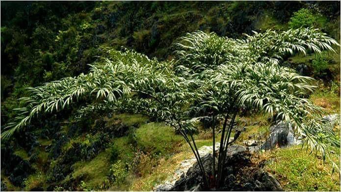 廣西生物多樣性豐富,喀斯特石山特有種、瀕危植物─德保蘇鐵