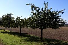 Mundenhof apple trees