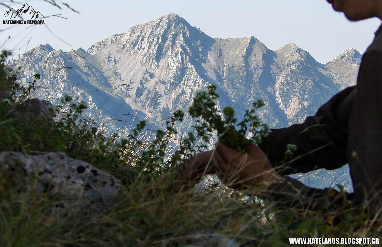 μαζεμα ριγανης βουνισια ριγανη παναιτωλικο ορος τσοκα