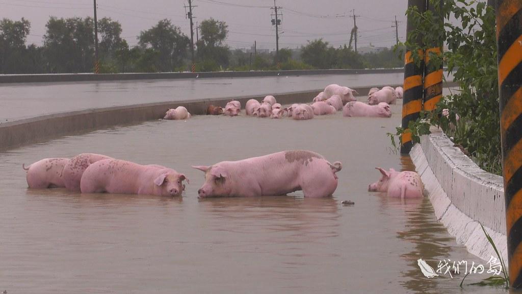 少數游出來的豬隻在洪水中浸泡了一天一夜,冷得直發抖。