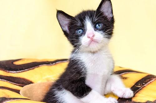 Martín, gatito blanquinegro guapísimo y súper listo nacido en Julio´18, en adopción. Valencia. ADOPTADO. 43313955335_45cdca123c