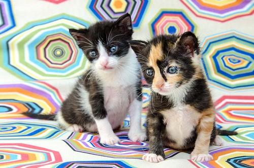 Martín, gatito blanquinegro guapísimo y súper listo nacido en Julio´18, en adopción. Valencia. ADOPTADO. 43313950335_f6e60e569e