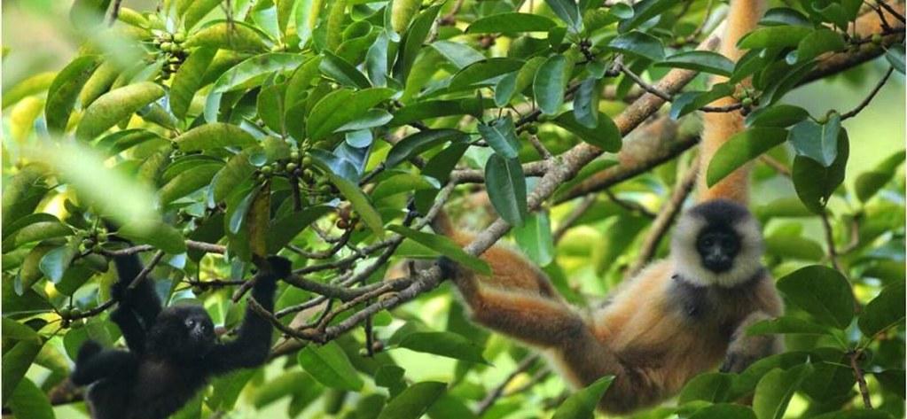 喀斯特石山特有種─東黑冠長臂猿,亦是極度瀕危物種