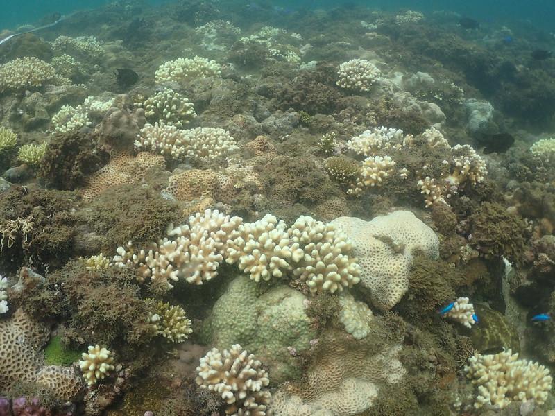野柳海域白化的珊瑚群聚,萼柱珊瑚為主