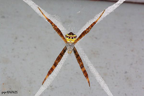 金蛛科成員(中型金蛛)典型的停棲姿態及其隱帶