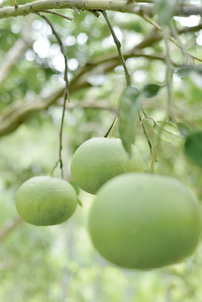201809-178-綠主張月刊-p08梯田上的蜜香—溫昌海的金黃柚子-07