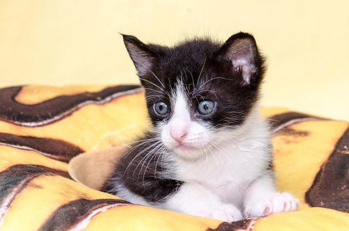 Martín, gatito blanquinegro guapísimo y súper listo nacido en Julio´18, en adopción. Valencia. ADOPTADO. 43502032094_6de18a5dfb