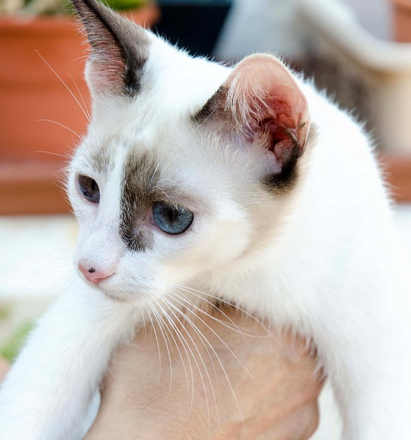 Bora, gatita Siamesa tricolor traviesa y monísima esterilizada, nacida en Marzo´18, en adopción. Valencia. RESERVADA. 43516865645_d14ed72635_z