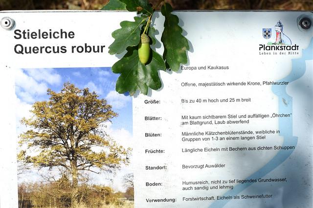 Bäume- und Sträucherlehrpfad Plankstadt ... Foto: Brigitte Stolle 2018 ... Stieleiche