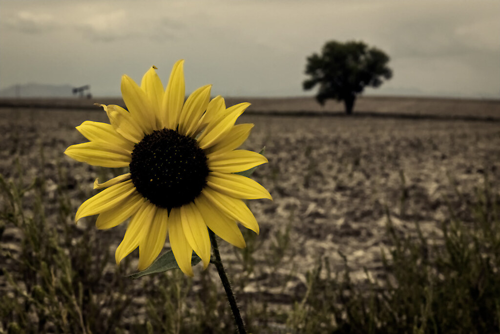 Sunflower: sepia