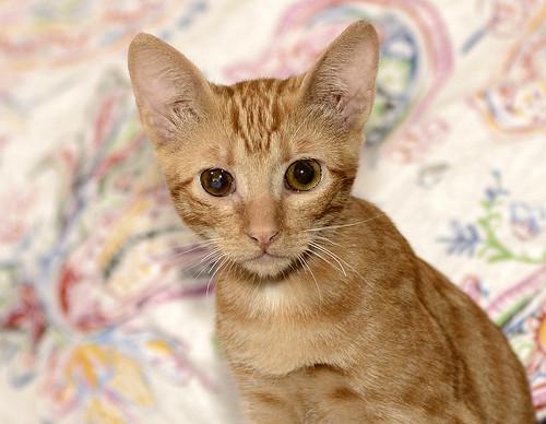 Rohit, gatito naranja cojito súper dulce y bueno, nacido en Abril´18, en adopción. Valencia. RESERVADO. 43748158754_f3fdfa4c6c