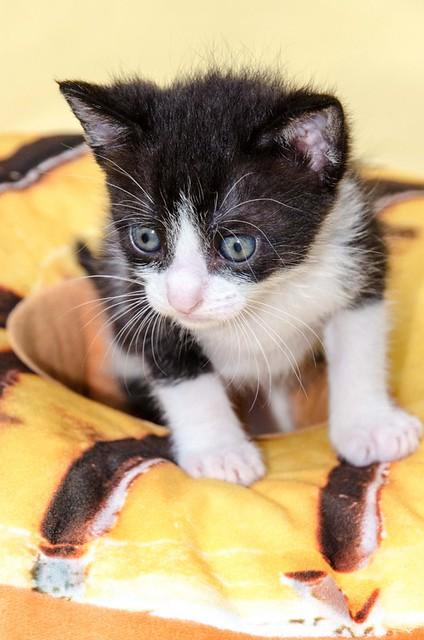 Martín, gatito blanquinegro guapísimo y súper listo nacido en Julio´18, en adopción. Valencia. ADOPTADO. 43313954005_9a78b45ee9_z