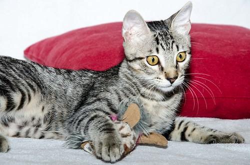 Bonnie, gatita parda monísima y muy lista esterilizada, nacida en Marzo´18, en adopción. Valencia. 43396704324_222b613f96