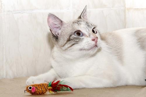 Aruba, gata cruce siamesa dulzona y muy guapa esterilizada, nacida en Agosto´17, en adopción. Valencia.  42306118710_22f0fdc868
