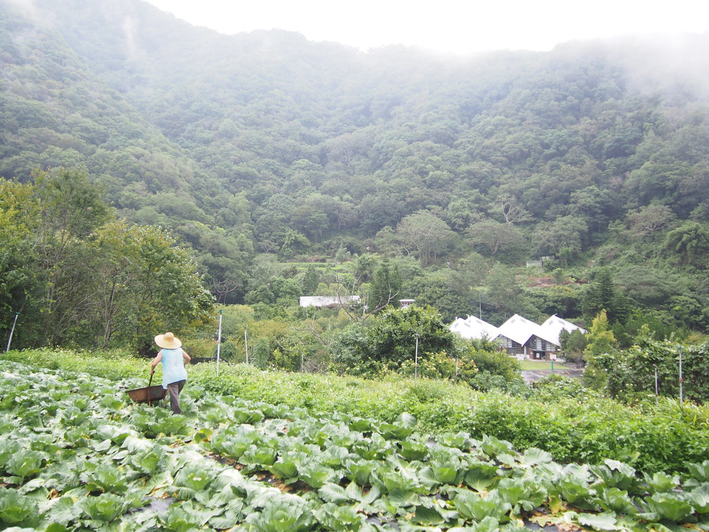 花蓮西寶聚落,農友正在採收有機高麗菜;右前方白色建築物是西寶國小。攝影:陳宣竹