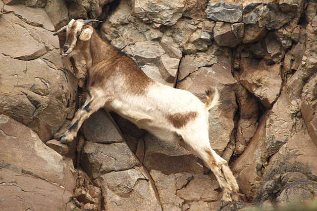 Goat, Anaga