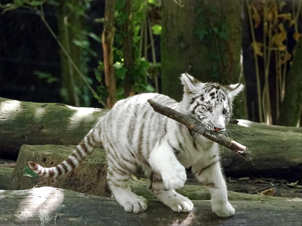 Jeune tigre blanc (Zoo-Parc de Beauval, France) | Tigre