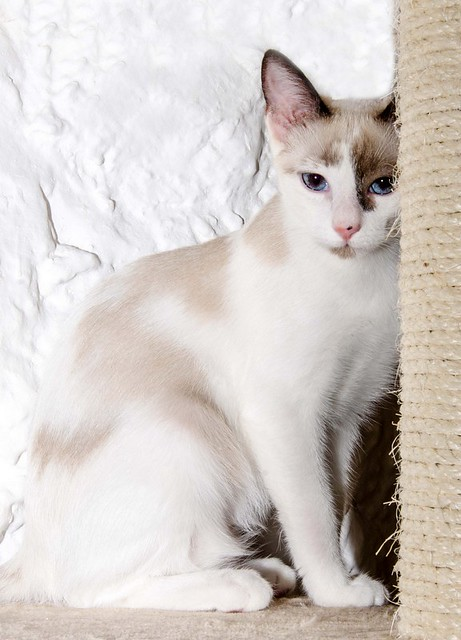 Bora, gatita Siamesa tricolor traviesa y monísima esterilizada, nacida en Marzo´18, en adopción. Valencia. RESERVADA. 43516861445_77c55a88fc_z