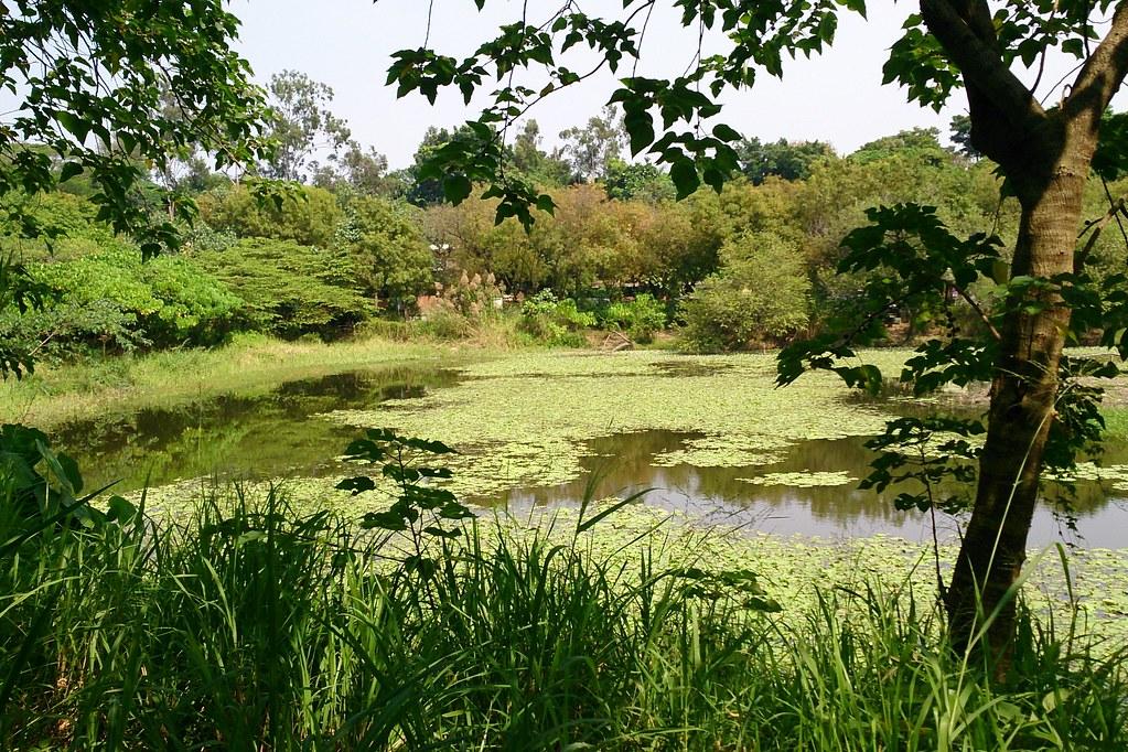 鳥松濕地植生歧異度高和水域,造就豐富的生物多樣性。攝影:李育琴