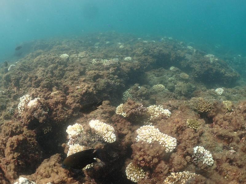 野柳海域白化的珊瑚群聚,細枝鹿角珊瑚為主1