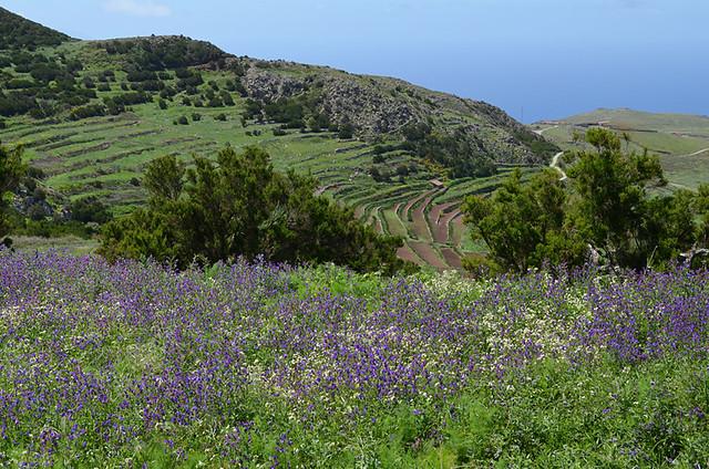 Wild flowers, Teno, Tenerife