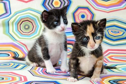 Martín, gatito blanquinegro guapísimo y súper listo nacido en Julio´18, en adopción. Valencia. ADOPTADO. 44219337921_7635dfbff5