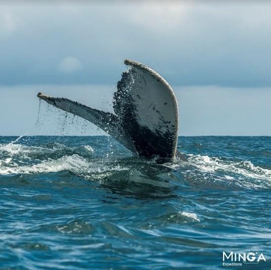 Fotógrafo Giovanny Pulido - Minga Expeditions Ballenas en Tumaco 2018