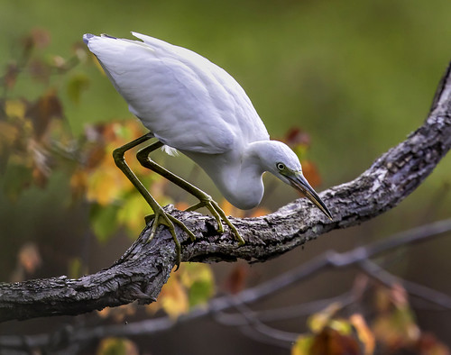 "2018 Photo Contest Grand Prize Winner, ""Little Blue Heron Ready to Pounce"" by Kevin Moore"