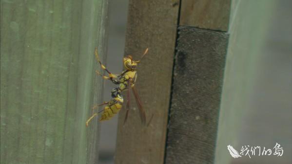 968-1-21s保持「平衡」是經營蜂場的核心,面對蜜蜂的天敵虎頭蜂,不願意用藥整窩撲滅。