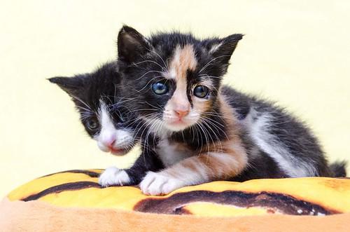 Martín, gatito blanquinegro guapísimo y súper listo nacido en Julio´18, en adopción. Valencia. ADOPTADO. 43313946685_38cfebefcc
