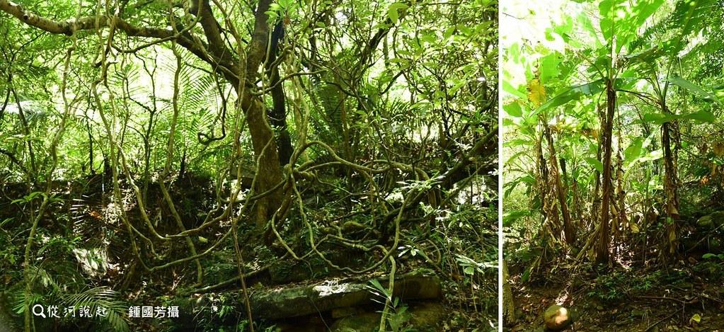 5_名副其實的「榕樹」溪