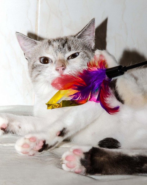 Aruba, gata cruce siamesa dulzona y muy guapa esterilizada, nacida en Agosto´17, en adopción. Valencia.  44066290172_9eeeb98eb8_z