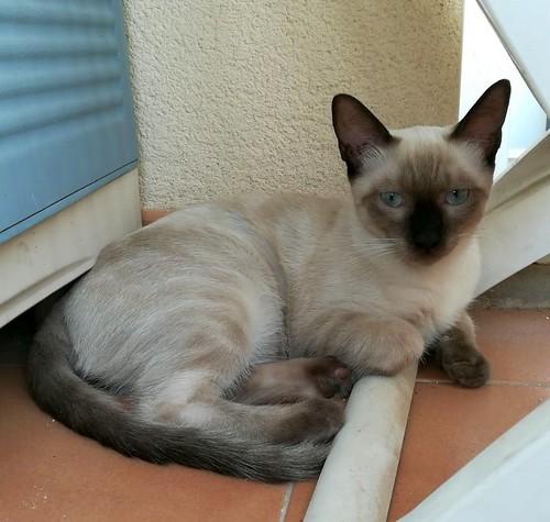 Boston, gatito Siamés Tabby reguapo y juguetón esterilizado, nacido en Marzo´18, en adopción. Valencia. ADOPTADO. 44330818861_f3574602aa