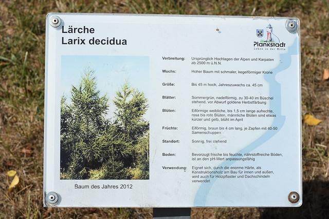 Bäume- und Sträucherlehrpfad Plankstadt ... Foto: Brigitte Stolle 2018 ... Lärche