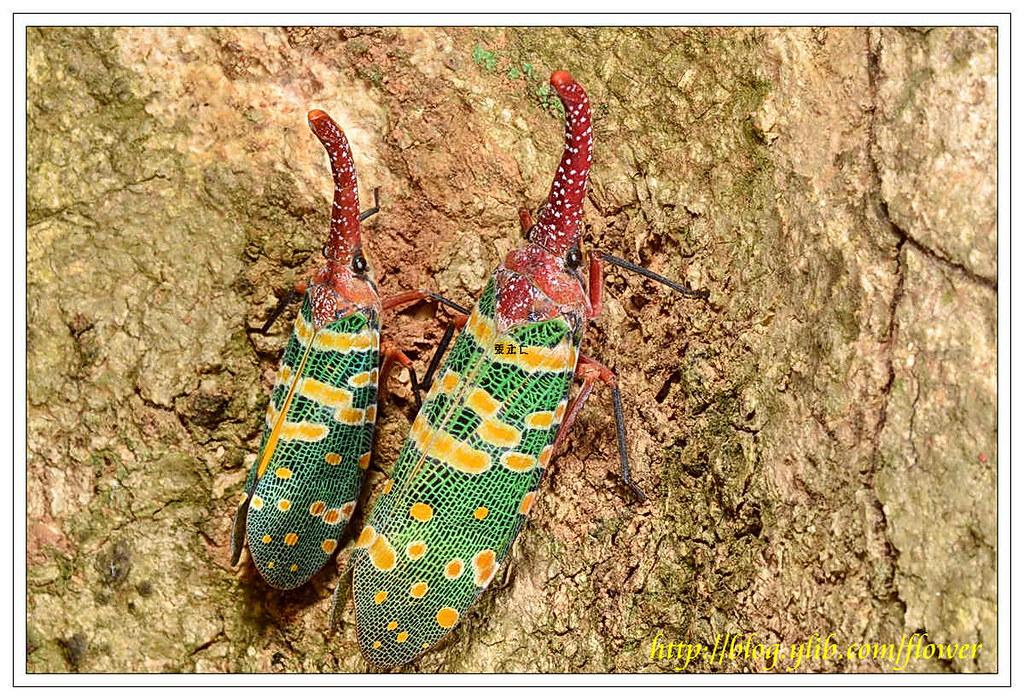 每年5~6月成蟲求偶期常見的生態畫面,左雄右雌。