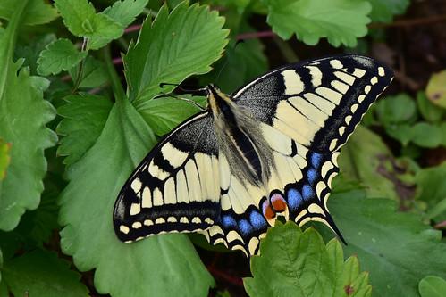 Махаон (Papilio machaon) Автор: Вячеслав Степанов
