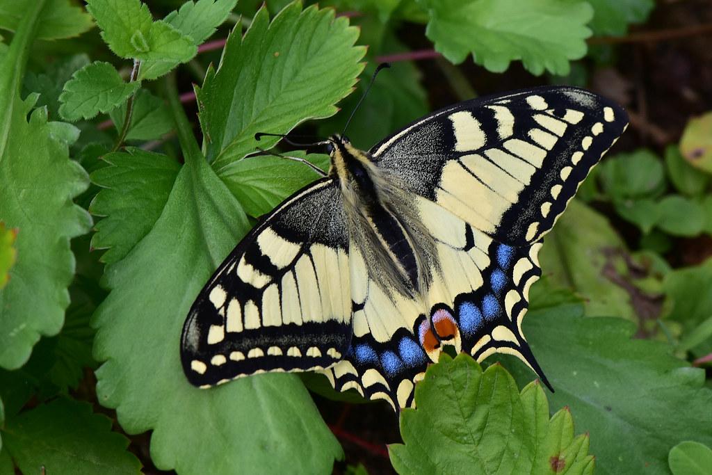 Махаон (Papilio machaon) Автор фото - Вячеслав Степанов