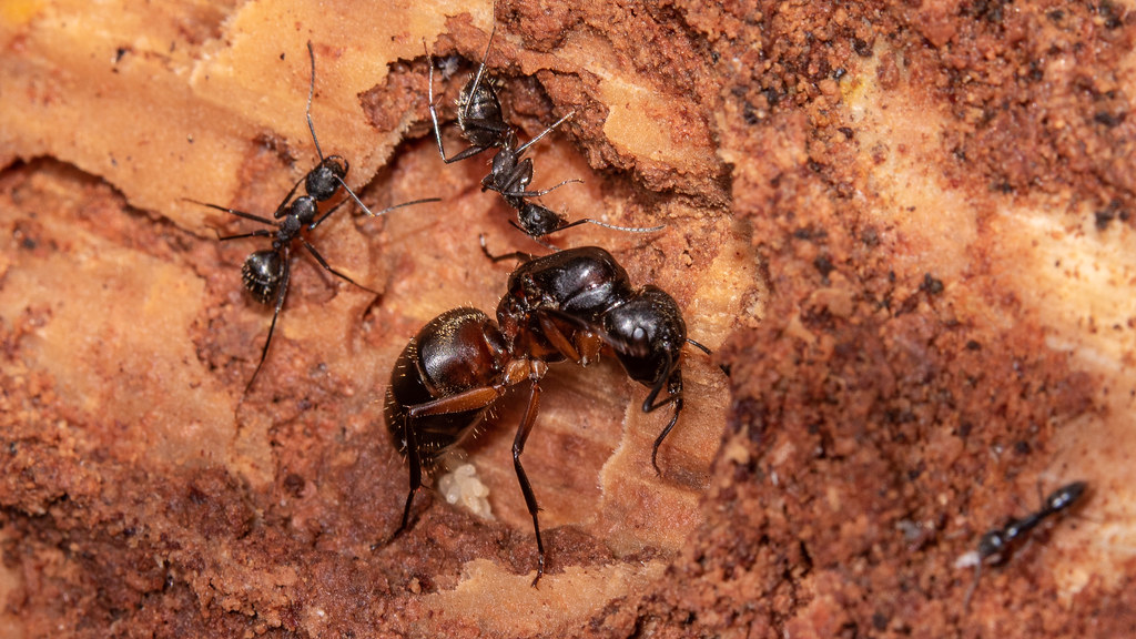 Queen Ant Laying Eggs | Cedar Fork District Park ... Queen Ant Laying Eggs