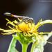 Ammophila Thread-Waisted Wasp (20180915-DSC09117)