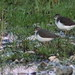Spotted Sandpipers 01-20180904