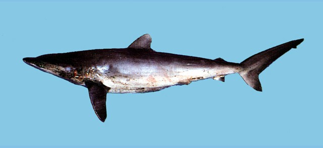 鐮狀真鯊在海洋生態系具有頂端物種的地位,族群數量大幅下降,而列入CITES附錄名單。圖片來源:魚類資料庫,適用CC授權。