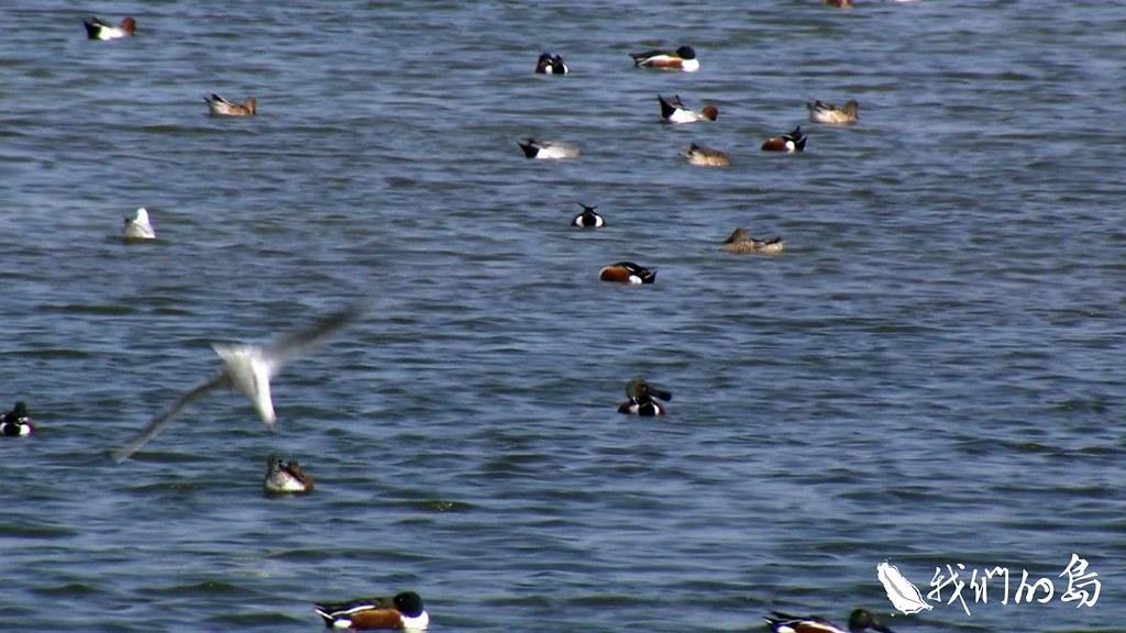 971-3-16桃園市野鳥學會理事長吳豫州表示,雁鴨科鳥類喜歡棲息在埤塘中央,設置光電板須考量對生態的衝擊。